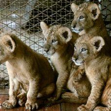 徐州动物园小狮子