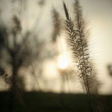黄昏中的小草