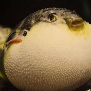 为什么河豚有剧毒 日本人还是超级爱吃