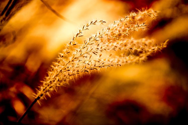 照片剖析课堂 - 微风下的黄金小草