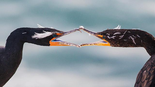 美国奥杜邦鸟类协会2015摄影大赛获奖作品